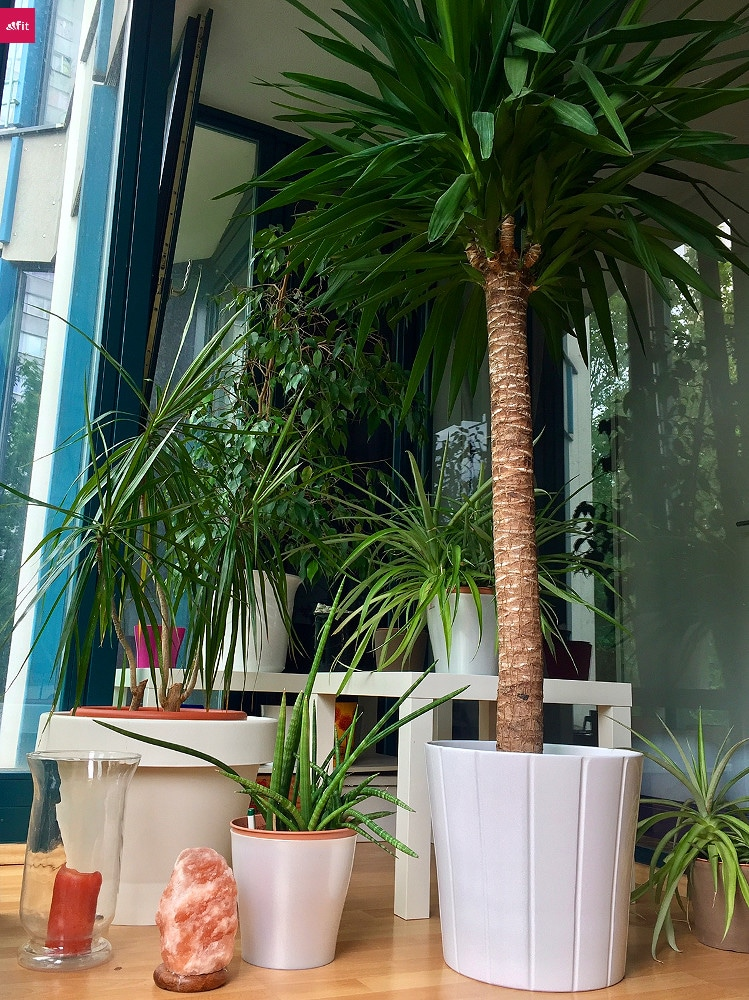 palme f r balkon balkon palme hauptdesign pflegeleichte. Black Bedroom Furniture Sets. Home Design Ideas