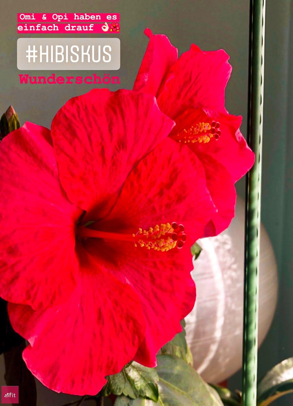 #HAARE #HAARKUR #HAARPFLEGE Wild Hibiskus #Haarmaske von Mermaid + Me // Lasst uns nun zu der wohl weiblichsten Haarmaske kommen in rosa, der Wild Hibiskus Maske. Ich war am Wochenende meine Großeltern besuchen und mein Opa ist ja der super Gärtner. Die beiden haben im Schlafzimmer so unglaublich schöne Pflanzen und ihr Hibiskus blüht extrem. Die Blüten strahlen richtig pink und die Wirkstoffe der Hibiskus Pflanze werden nicht nur in Haarkuren (Werbung) #mermaidme