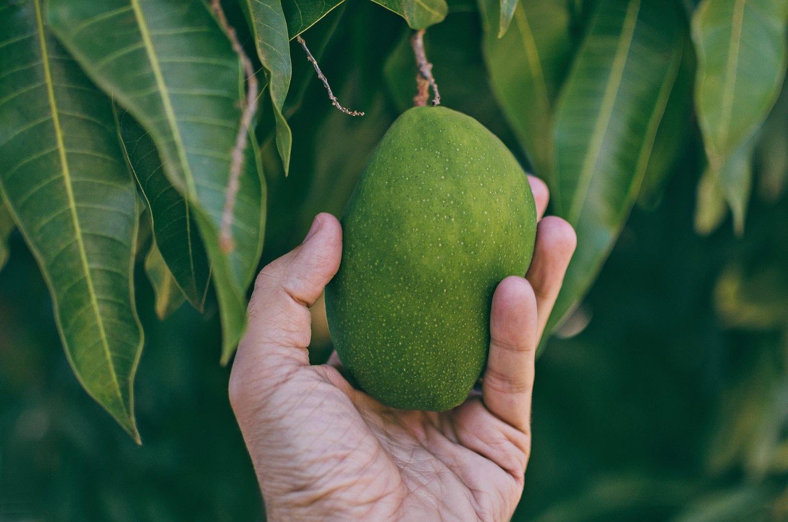 Mango Frucht Wirkung Gesundheit